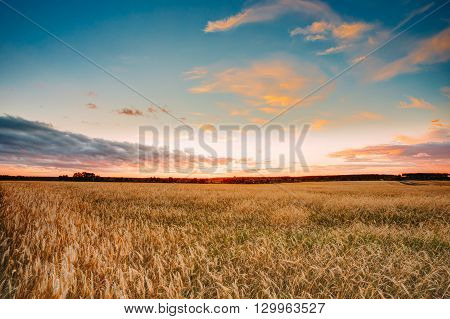 Rural Countryside Wheat Field. Yellow Barley Field In Summer. Agricultural Season, Harvest Time. Colorful Dramatic Sky At Sunset Sunrise.