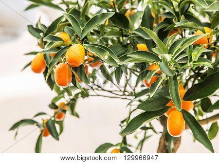 Ripe cumquat fruits on the tree. Blue sky background.