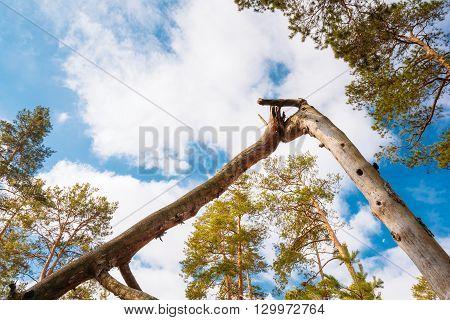 Wild Forest. Broken Pine Tree In Green Coniferous Forest. Spring Season.