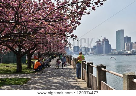 NEW YORK CITY - APRIL 22, 2016: Cherry Blossoms along sidewalk on Roosevelt Island