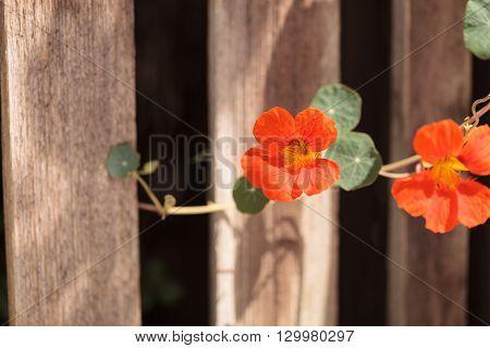 Orange Nasturtium flower Tropaeolum majus is edible and makes an attractive ground cover.