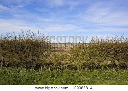 a gap in a hawthorn hedgerow with a view of the agricultural scenery of the yorkshire wolds england under a blue cloudy sky in springtime