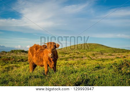 Brown cow in the green field with a hills on a background. Ponta do Pargo Madeira island, Portugal