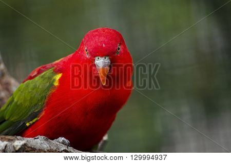 this is a close up of a red lory