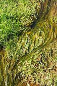 stock photo of eukaryote  - green algae - JPG