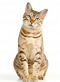 foto of tabby cat  - Bengal cat in light brown and cream looking with pleading stare - JPG