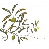 picture of olive branch  - Olive - JPG