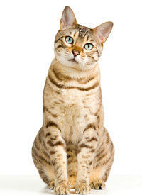 pic of tabby-cat  - Bengal cat in light brown and cream looking with pleading stare - JPG