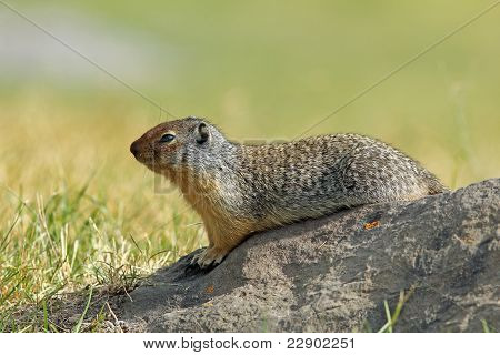 Columbian Ground Squirrel (Spermophilus columbianus) - Banff National Park, Canada