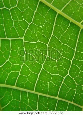 Leaf Green Vains