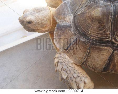 Africano tartaruga Sulcata