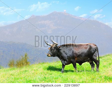 The Auroch also Urus - Bos Primigenius. Very rare wild European Buffalo living only in a Czech National Park Sumava and Germany National Park Bavarian Forest.