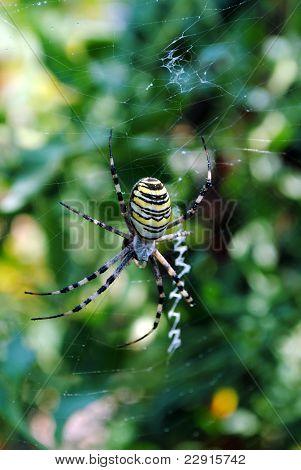 Argiope bruennichi arachnid also called tiger spider