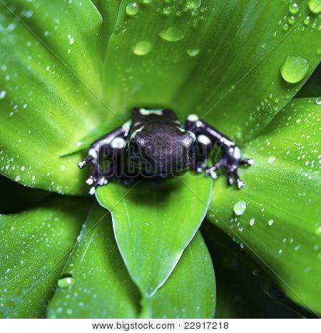 Dendrobatidae Frog