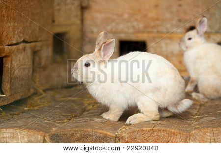 Little  white hares sitting at wooden board