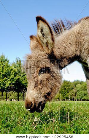 Donkey Eating Grass