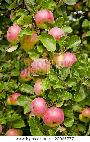 Apples On The Apple-tree