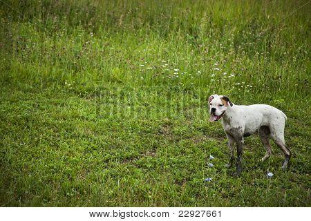 boxer dog standing muddy