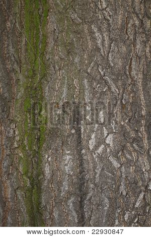 background or texture of a chestnut tree bark with some moss