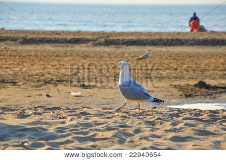 Walking Gracefull Black-tailed Gull (seagull) Along The Seashore On A Sunny Day, Zaandvort, Northsea