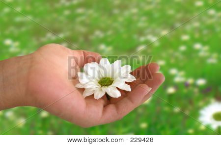 Hand halten eines Gänseblümchens