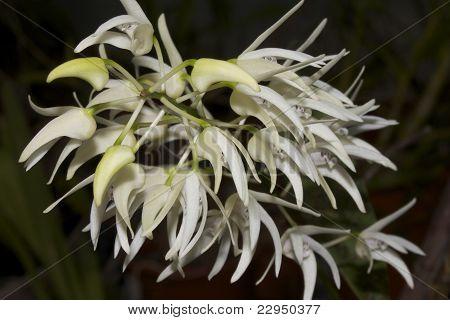 Dendrobium jonesii (Orchid)