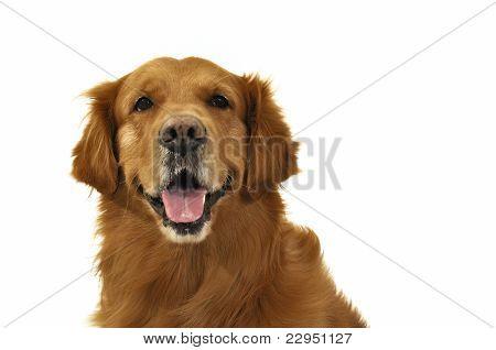 Golden Retriever Dog Very Expressive Face Front.