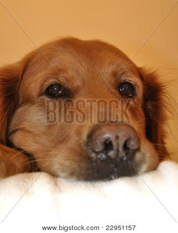 Golden Retriever Dog Very Expressive Face. Close Up Nose.