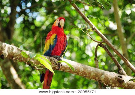 Scarlet Macaw In Honduras