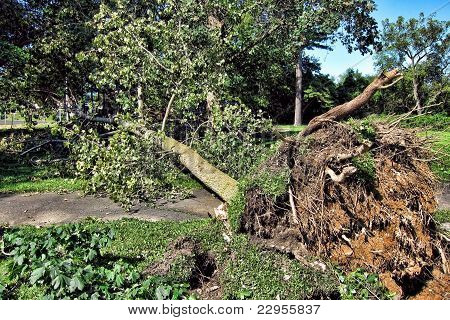 Uprooted Tree After A Hurricane