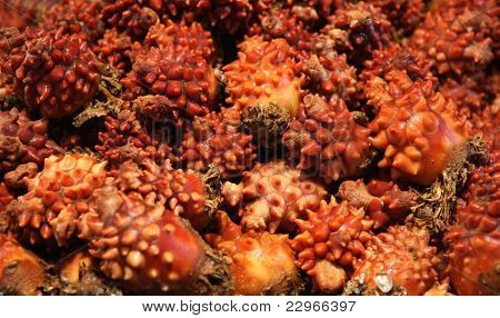Sea Squirt (mong-gae)  Fish Market In South Korea