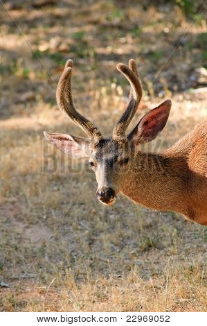 Black-tail deer closeup