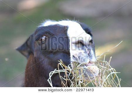 Llama Eating Hay