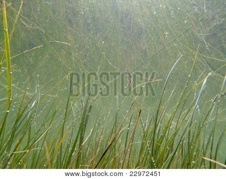 Underwater shot of submerged grass and plants