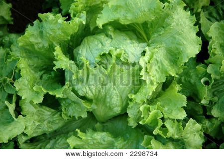 Detail Of A Fresh Lettuce