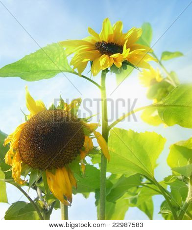 Sunflowers and the sun behind