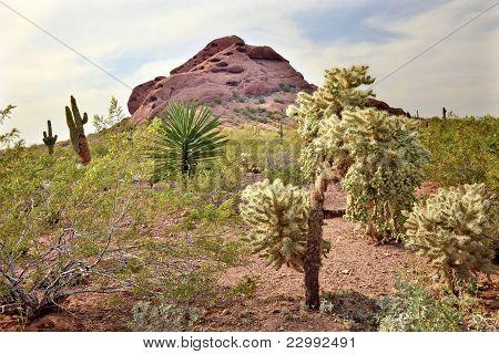 Joshua Trees Saguaro Cactus Desert Botanical Garden Phoenix Arizona