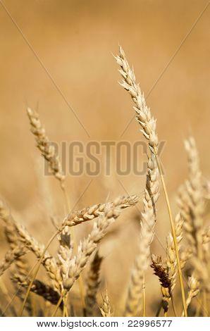 Golden Wheat Ready For Harvest Growing In A Farm Field