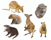 Collage Of Australian Marsupial Mammals, Isolated On White Background. Wallaby, Tasmanian Devil, Wom poster