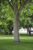 picture of cottonwood  - Trunk of a tall Cottonwood tree in a city park with lush green grass - JPG