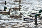 Natural Background: A Lot Of Ducks And Drakes On The Water, Wintering Waterfowl poster