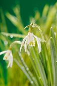 stock photo of snowbell  - Snowdrop flowers - JPG