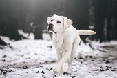 Young White Labrador Retriever Dog Puppy During A Winter Walk Looking Gorgeous With Copy Space poster