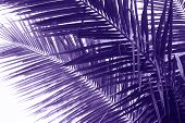 Coconut Palm Tree Leaf Violet Toned Photo. Coco Leaf Closeup. Abstract Coco Palm Leaf Background. Vi poster