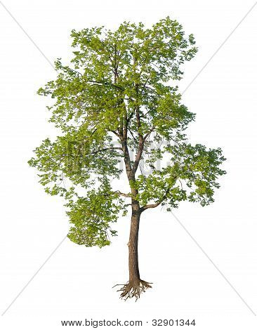 Tree with cut roots isolated