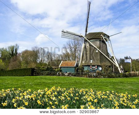 traditional dutch windmill with daffodils field nearby,  The Netherlands