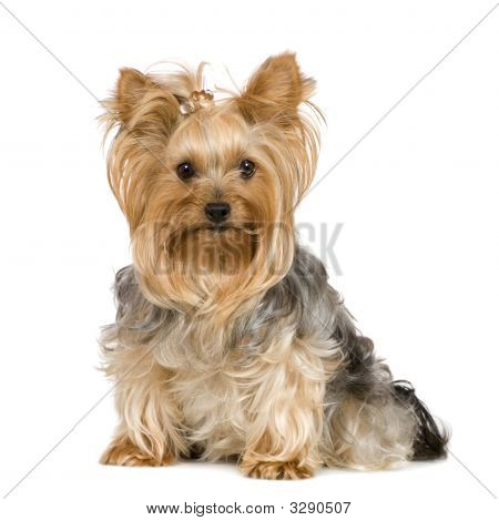 Yorkshire Terrier (2 Years)