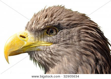sea eagle isolated on white background