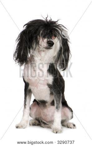 Chinese Crested Dog - Powderpuff (4 Years)