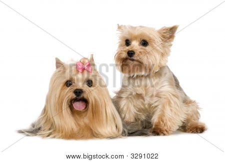 paar Yorkshire-terrier